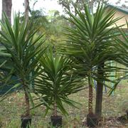 yucca pianta da esterno
