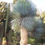 Yucca rostrata selvatica