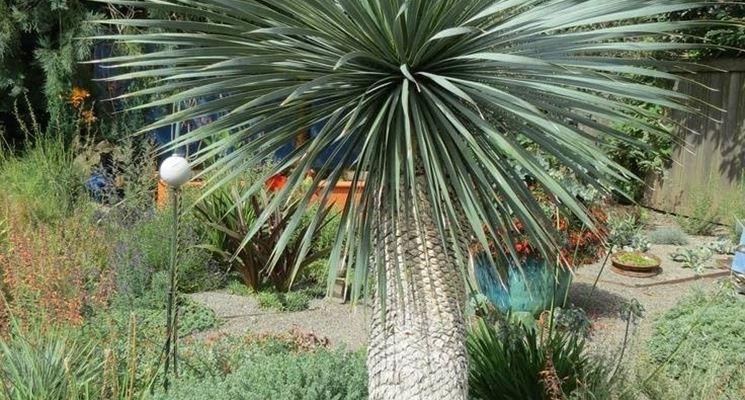 Yucca rostrata in giardino