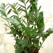 Zamioculcas zamiifolia in vaso