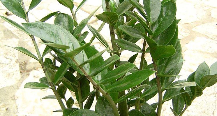 Zamioculcas <strong>zamiifolia</strong> in vaso