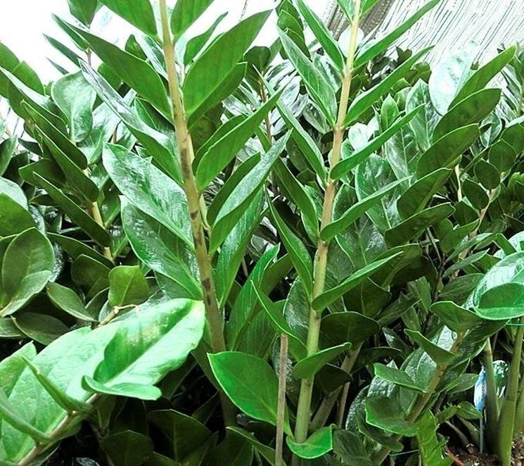 Foglie di zamioculcas zamiifolia