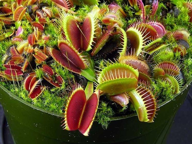 Una delle piante carnivore pi� facili da coltivare in casa, la Dionaea muscipula
