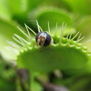 Piante carnivore vendita piante carnivore for Pianta carnivora dionea