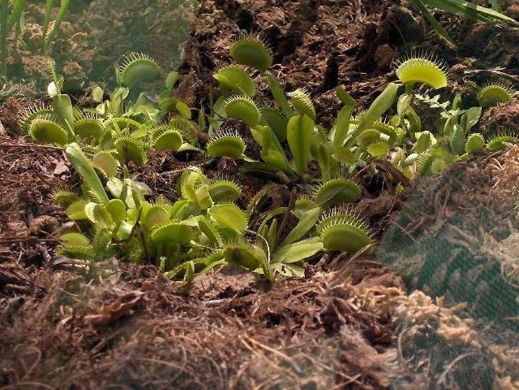 Esemplare di dionea coltivato in piena terra
