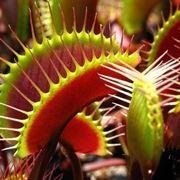 Esemplari di Dionaea muscipula