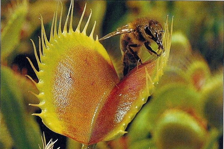 Dionaea in fase di cattura