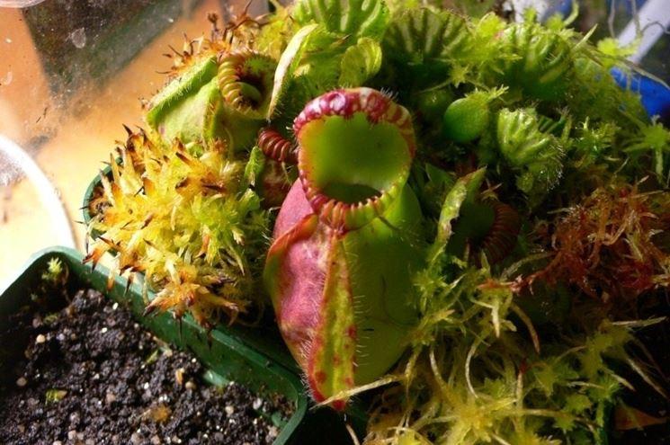 piante carnivore giganti piante carnivore piante