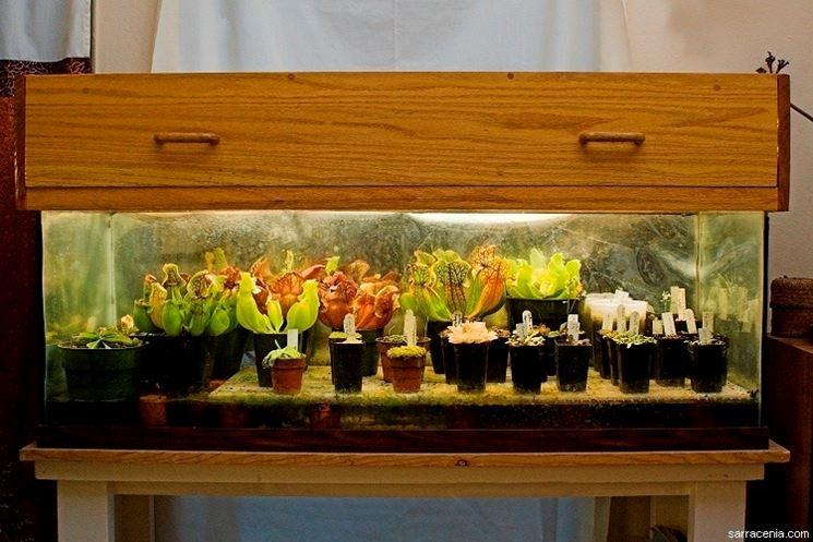 Coltivazione in terrario di piante carnivore.