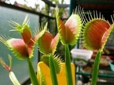 piantecarnivore1