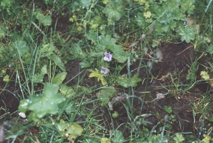 Grandiflora spontanea