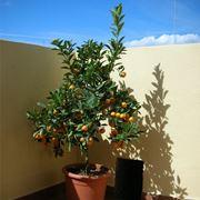 alberi da balcone