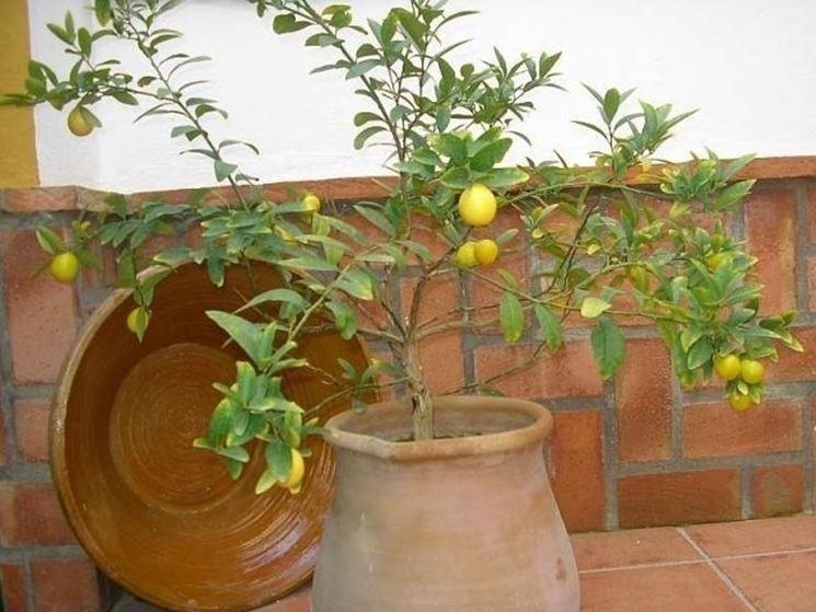 Pianta di limone