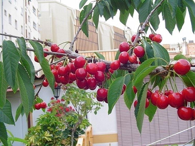 Alberi da terrazzo piante da terrazzo alberi per il for Piante da frutto vaso
