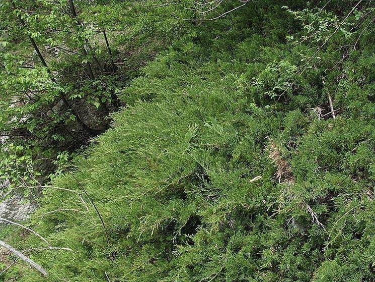 Ginepro (Juniperus sabina)