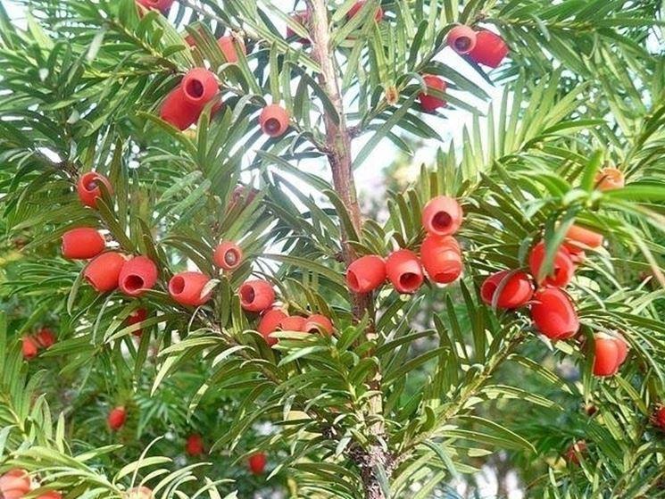 Tasso (Taxus baccata)