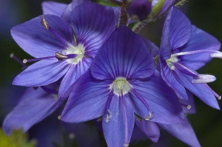 Fiori della pianta di Veronica