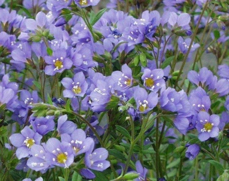 Fiori della pianta di Polemonium