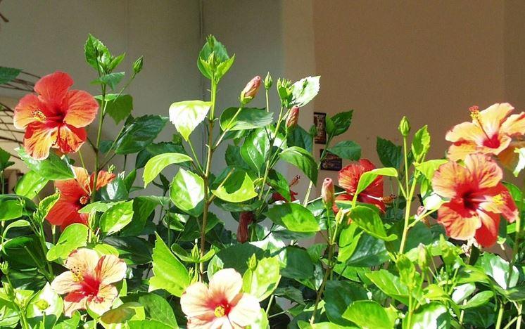 Hibiscus da terrazzo
