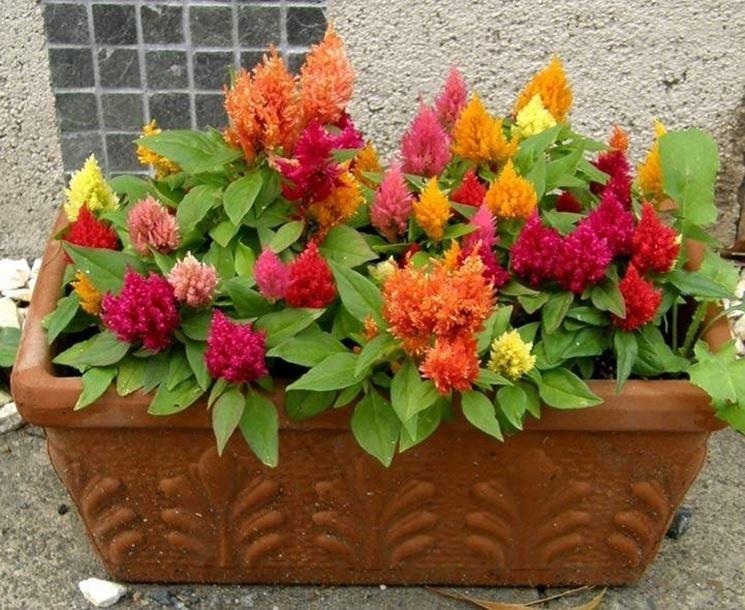 Fiori da vaso - Piante da terrazzo - Fiori da vaso caratteristiche