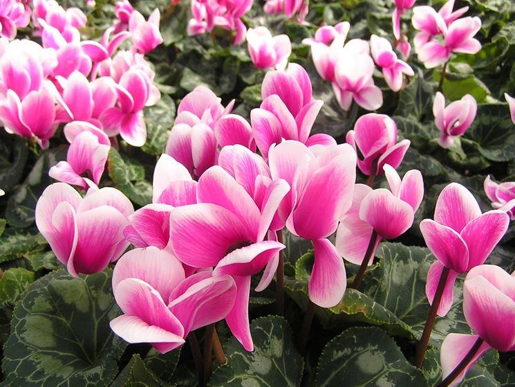 Fiori da vaso piante da terrazzo fiori da vaso - Piante invernali da giardino ...