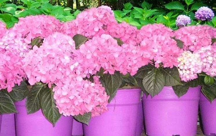 Piante di Ortensia in fiore