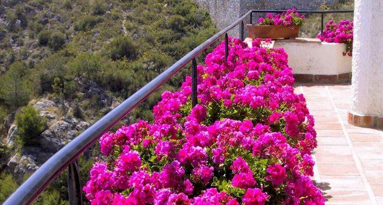 Fiori per balconi piante da terrazzo fiori per balconi for Piante sempreverdi da balcone