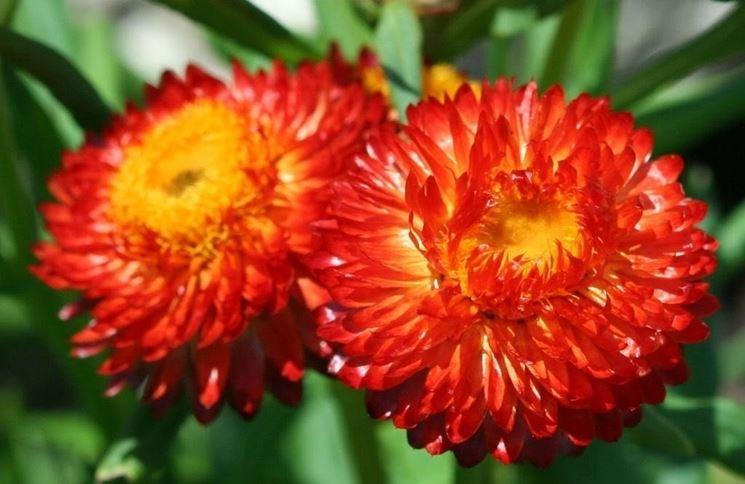 Fiori della pianta di Helichrysum