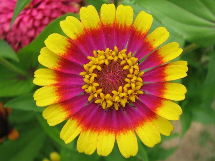 Fiore della pianta di Zinnia