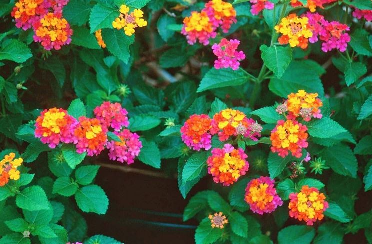 Infiorescenze colorate di Lantana