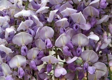 I bellissimi fiori di glicine
