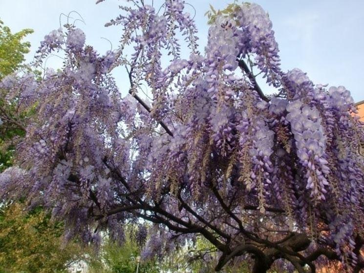 Un ramo fiorito di glicine