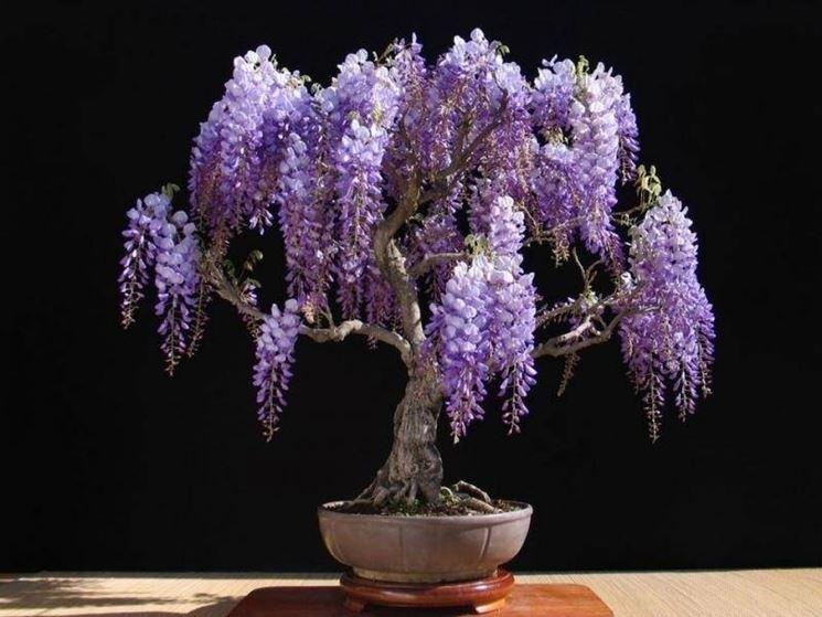 Un esemplare di glicine coltivato in vaso come bonsai