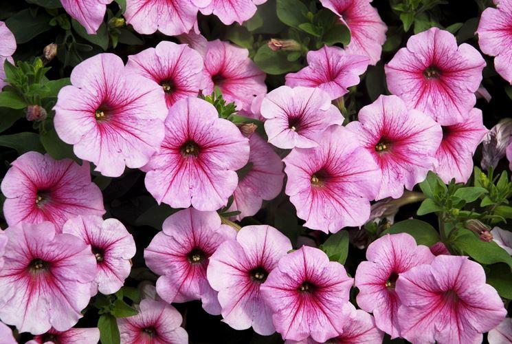 I fiori resistenti al sole piante da terrazzo fiori for Fiori da terrazzo