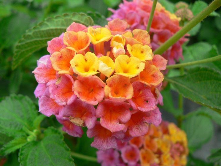 i fiori resistenti al sole piante da terrazzo fiori