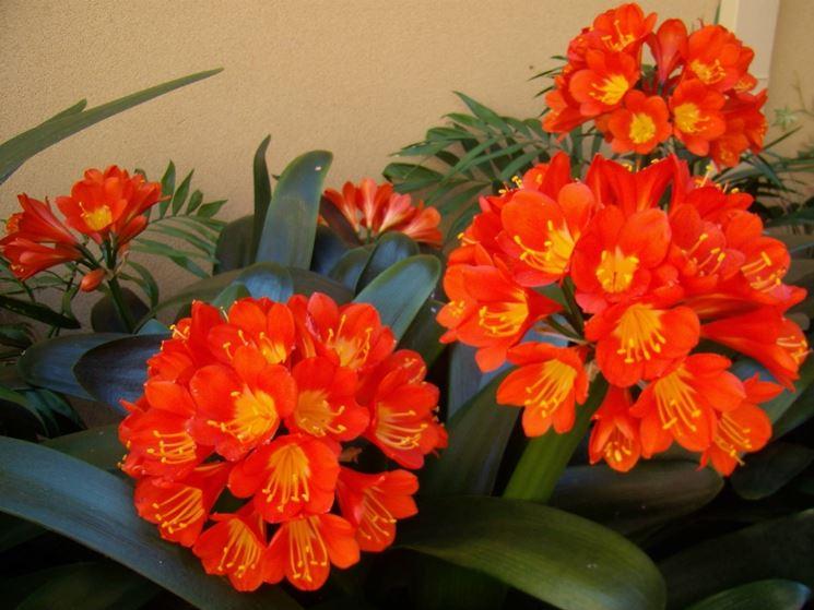 Fiori della pianta di Clivia miniata