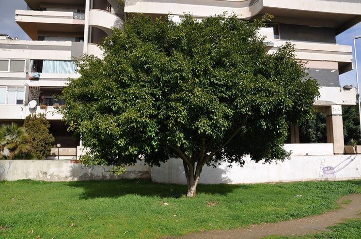 Un albero di ficus benjamin