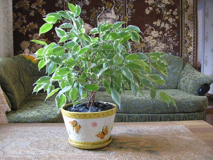 Un esemplare di ficus benjamin coltivato in vaso e in appartamento