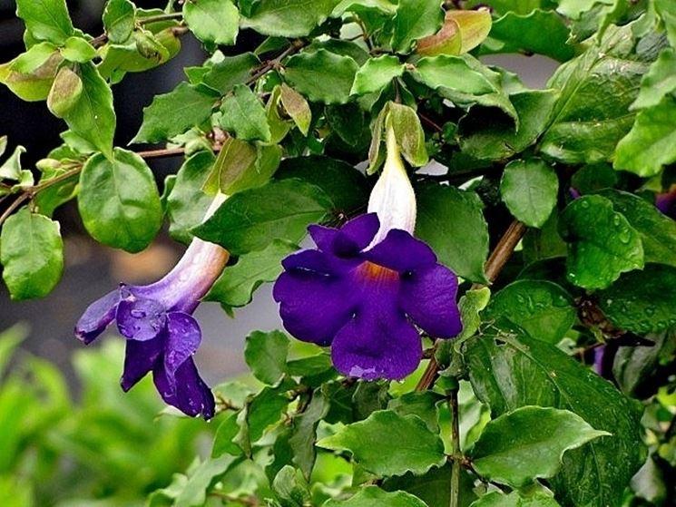 Fiori e foglie di Thunbergia