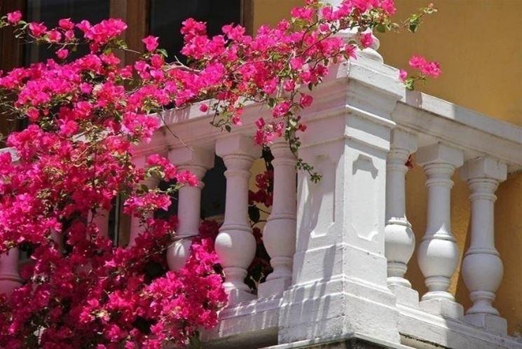 Pianta da balcone perenne