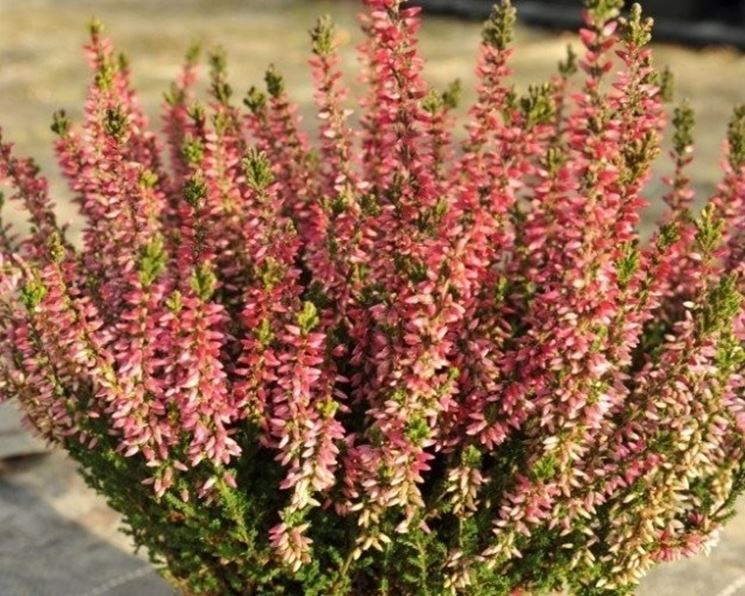 Piante da balcone resistenti piante da terrazzo for Piante fiorite perenni da esterno