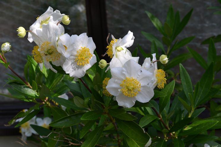 Fiori della pianta di Carpenteria californica
