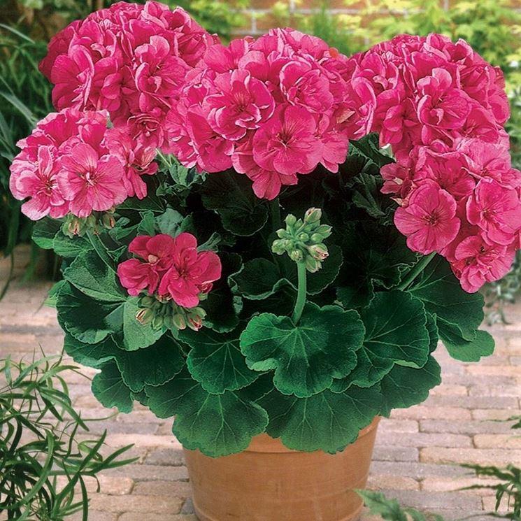 piante fiorite da balcone piante da terrazzo