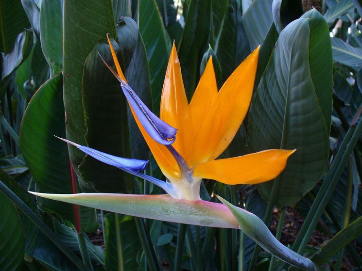 Strelitzia o Uccello del Paradiso