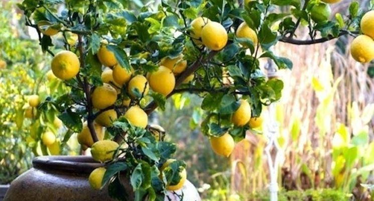 Piccola piant nana da frutto in vaso
