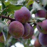 piante da frutto nane