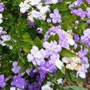 Infiorescenze dalla pianta di Brunfelsia calycina