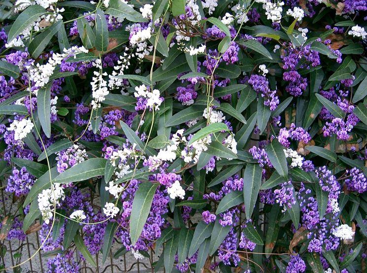 Fiore e foglie di Hardenbergia