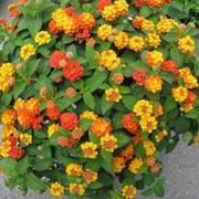 Lantana in fiore