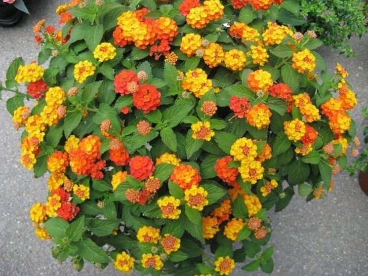 Piante resistenti al sole piante da terrazzo piante for Piante fiorite perenni da esterno